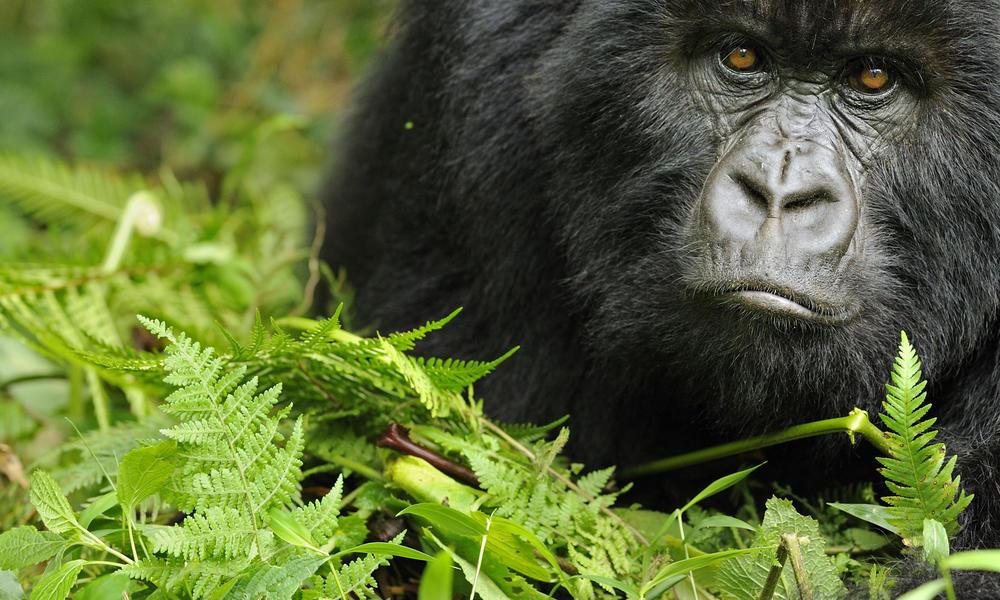 Mountain gorilla (Gorilla beringei beringei) young female, portrait, Volcanoes NP, Virunga mountains, Rwanda