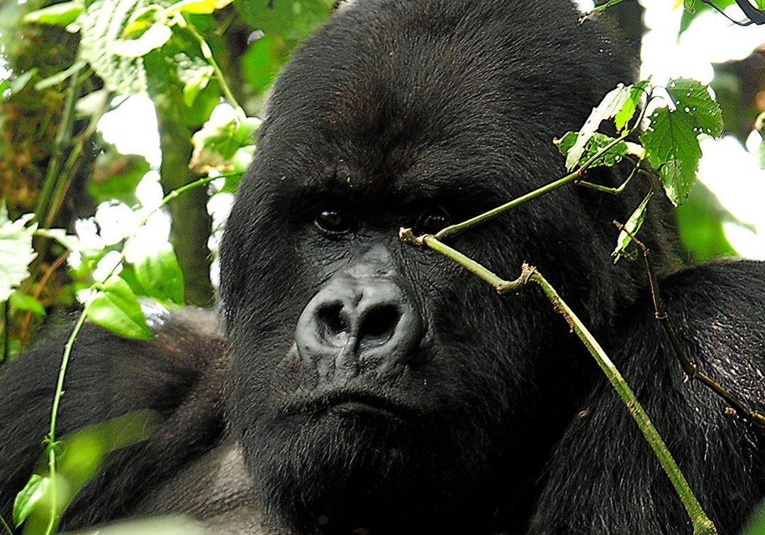 2015-Africa-Uganda-Gorillas-of-Bwindi-AK-Hero