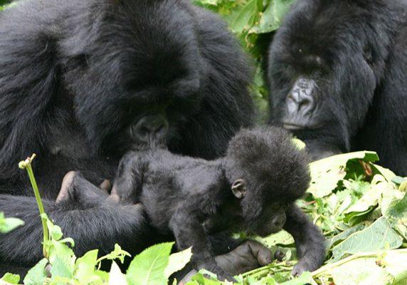 mama-gorilla-rwanda